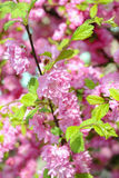 CHERRY BLOSSOMS. Pink cherry blossoms on a softly blurred background Royalty Free Stock Photos