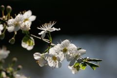 Cherry blossoms. A branch of cherry blossoms Stock Images