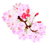 Cherry Blossoms. Illustration of a pink background of bright cherry Royalty Free Illustration