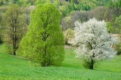 Cherry blossoms. Tree on spring time Royalty Free Stock Image