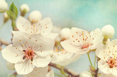 Free Cherry Blossoms Royalty Free Stock Photography - 24029847