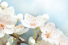 Cherry blossoms. Against  a blue sky Stock Image