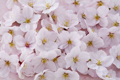 Cherry blossoms. Whole of cherry blossoms as spring background Royalty Free Stock Photo