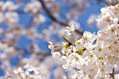 Cherry blossoms. This is a picture of cherry blossoms were blooming in the park Stock Photos