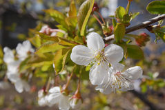Cherry blossoms. On a branch in the spring Stock Image