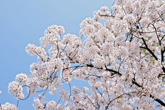 Free Cherry Blossoms Royalty Free Stock Image - 24617416
