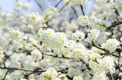 Cherry Blossoms. Royalty Free Stock Photos