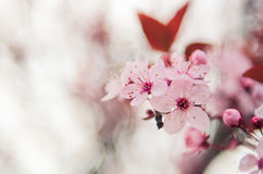 Cherry blossoms Stock Photography