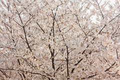 Cherry blossoms. It seems disordered in the first view, but the cherry blossoms is attractive Royalty Free Stock Photos