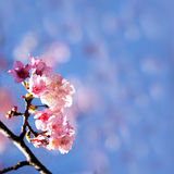 Cherry blossoms Royalty Free Stock Image