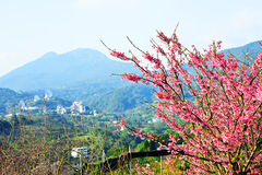 Cherry blossoms. With nice background Royalty Free Stock Images