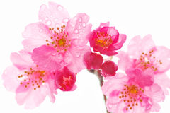 cherry blossoms Royalty Free Stock Photos