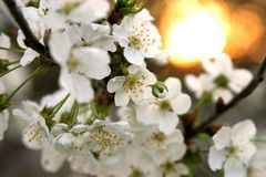 Cherry Blossoms. In bloom with sun setting in background stock photography