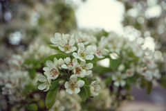 Cherry Blossoms Royaltyfri Foto