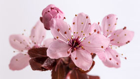 Free Cherry Blossoms Stock Images - 39263244