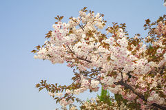 Cherry Blossoms Foto de Stock