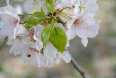 Cherry Blossoms Imagens de Stock Royalty Free