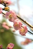 Cherry blossoms. In early spring Royalty Free Stock Image