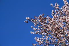 Cherry Blossoms. Close up over clear blue sky Royalty Free Stock Photography