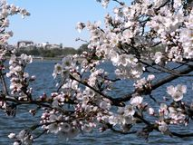 Cherry blossoms 5 of DC stock photos