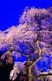 Cherry Blossoms Lizenzfreies Stockbild