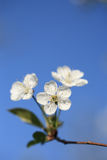 Cherry blossoms. Closeup of cherry blossoms on blue sky. Free top place for something stock photography