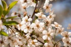 Cherry Blossoms Fotografia Stock