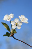 Cherry blossoms. Closeup of cherry blossoms on blue sky royalty free stock photos