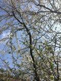 Cherry Blossoms Fotografía de archivo libre de regalías