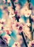 Cherry Blossoms Royalty-vrije Stock Foto