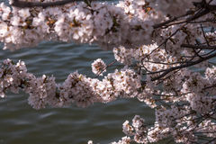 Cherry Blossoms Fotografie Stock