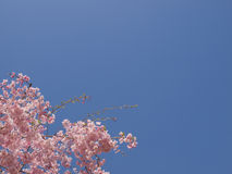 Cherry Blossoms. And blue sky in Tokyo, Japan Stock Photo