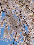 Cherry Blossoms. In Tokyo Japan Royalty Free Stock Images