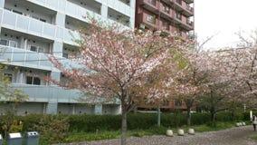 Cherry Blossoms Lizenzfreies Stockfoto
