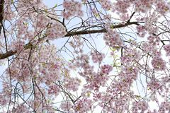 Free Cherry Blossoms Stock Image - 5741411