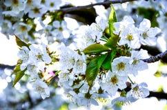 Cherry Blossoms 1 Fotografia Stock Libera da Diritti