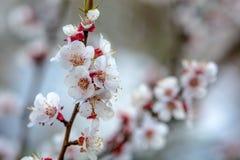 Cherry Blossoms Photos libres de droits