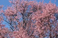 Cherry Blossoms Photos libres de droits