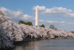 Cherry Blossoms. The famous Cherry Blossom tress of our nations capitol Royalty Free Stock Photography
