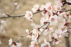 Cherry Blossoms. In south korea marking the beginning of spring stock photography