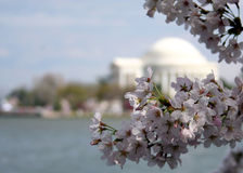 Cherry Blossoms. DC Cherry Blossoms along tidal basin Stock Photography