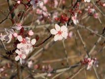 Cherry Blossoms Immagine Stock Libera da Diritti