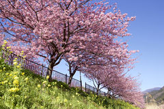 Cherry Blossoms Royalty-vrije Stock Afbeelding