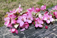 Cherry Blossoms. A branch wth cherry blossoms on a fence Royalty Free Stock Image