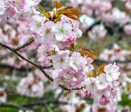 Cherry Blossoms Stockbild
