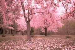 Cherry Blossoms Imagen de archivo