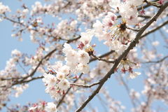 Cherry blossoms. In korea royalty free stock photos