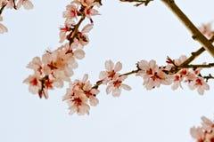Cherry Blossoms Immagini Stock Libere da Diritti