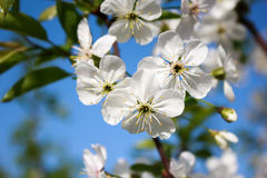 Cherry Blossoms Photographie stock