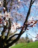 Cherry Blossoms Fotos de archivo libres de regalías